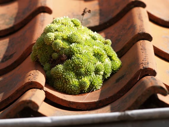 Sempervivum Succulents Assorted (Free Shipping), Plantly