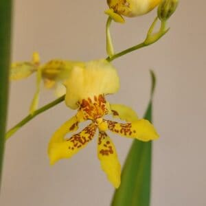 Dancing Lady Orchid Plant Care, Plantly