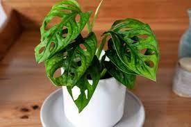 Monstera Adansonii | Swiss cheese plant, Plantly