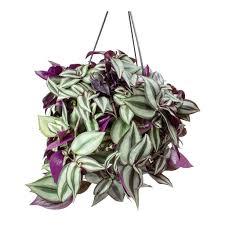 Silver Tradescantia Zebrina | Inch Plant, Plantly