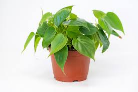 Philodendron scandens   Heartleaf Philodendron, Plantly