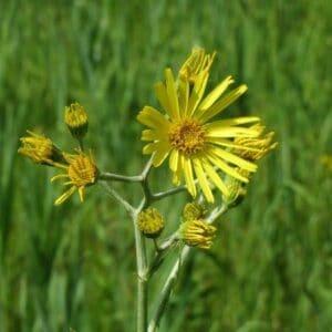 Senecio plant