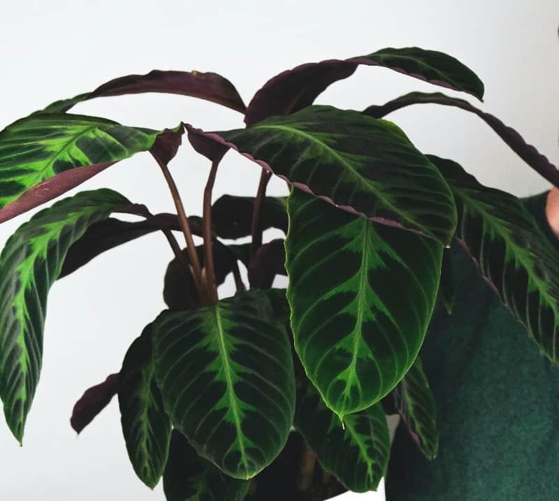 jungle velvet calathea