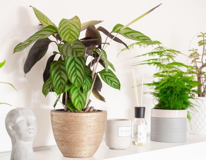 calathea freddie plant