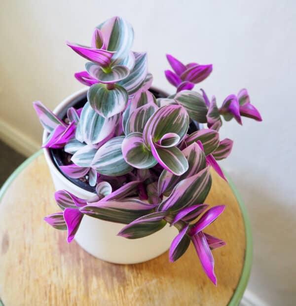 Bubblegum tradescantia | Lilac Tricolor | Nanouk Plant, Plantly