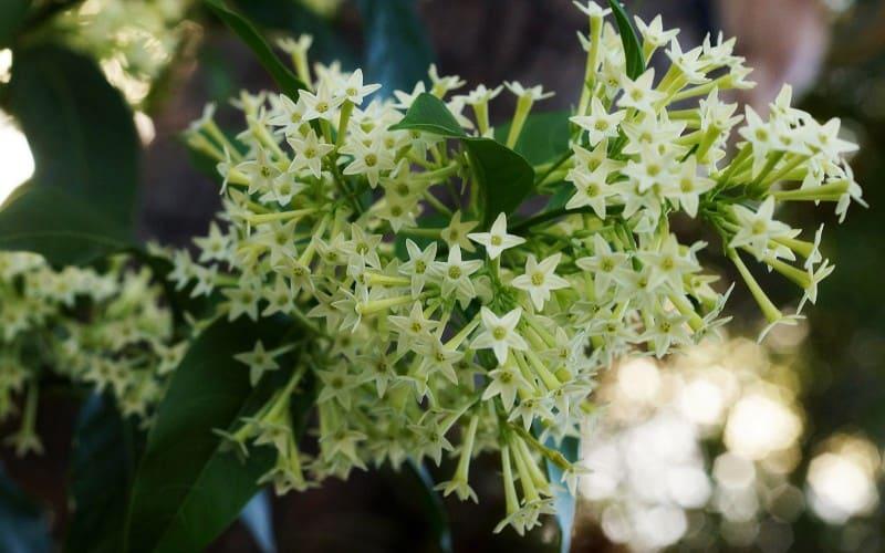 night blooming jasmin plant