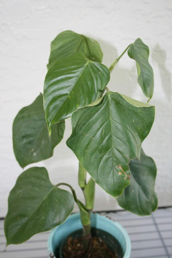 Philodendron Ornatum 4″, Plantly