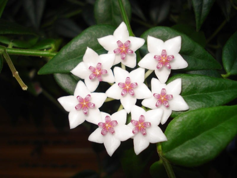 hoya carnosa plant