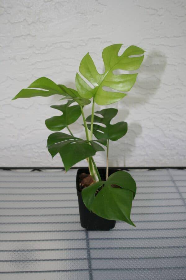 Rhaphidophora Tetrasperma 3″, Plantly