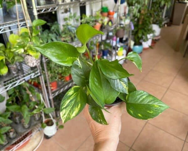 """Golden Pothos """"Devils Ivy"""" (Epipremnum Aureum), Plantly"""