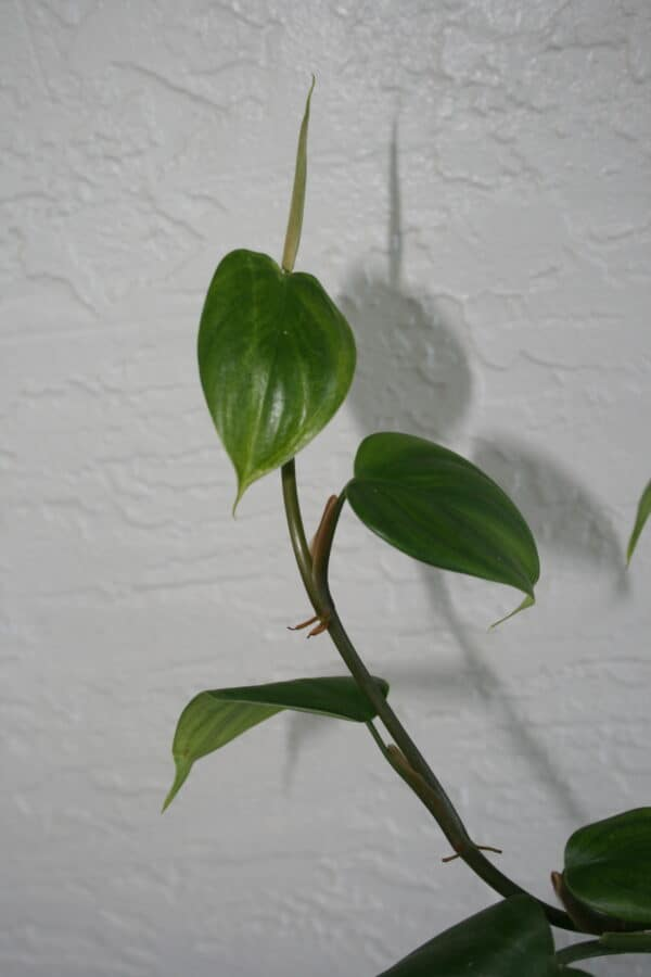 "Philodendron Villamagense ""Pangui"" 4″, Plantly"
