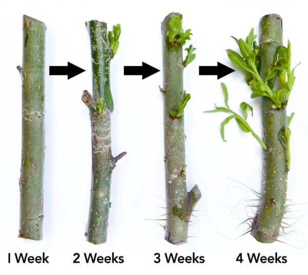 4 Weeping Willow Tree Cuttings – Easy starts 8-12″, Plantly