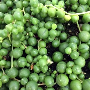 String Of Pearls Plant Care, Plantly