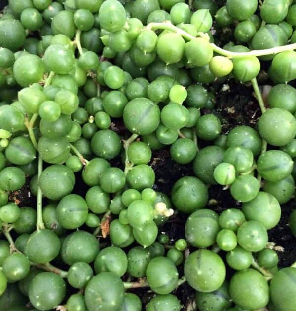 String of Pearls – Senecio Rowleyanus – Easy to Grow Succulent Plant, Plantly