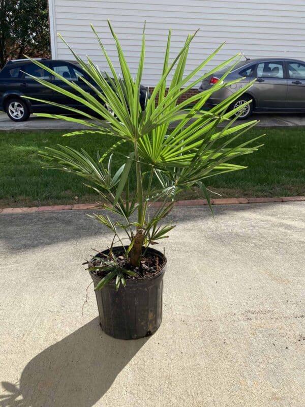 Compact Windmill Palm – Trachycarpus Wagnerianus, Plantly