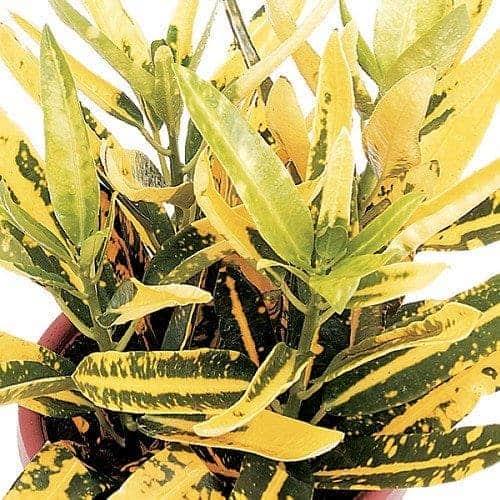 Yellow Banana Croton, Plantly