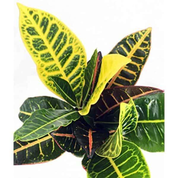 Petra Croton, Plantly