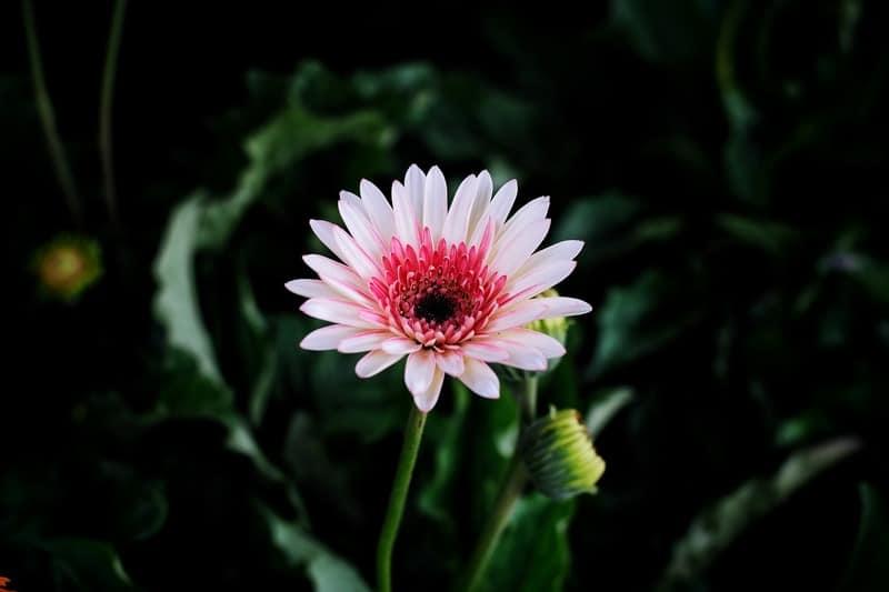 Barberton daisy best air purifying plant