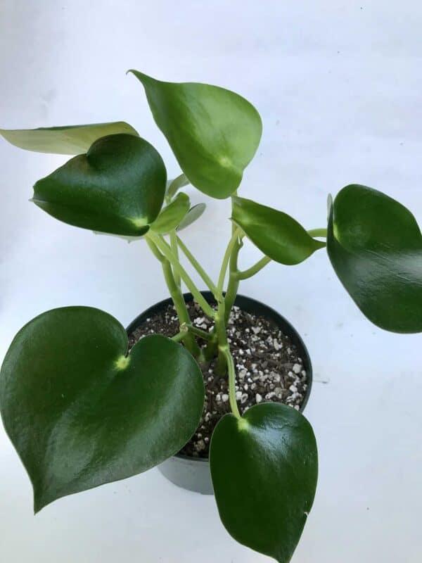 Peperomia Polybotrya (Peperomia Raindrop), Plantly