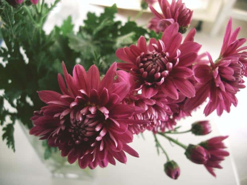 Chrysanthemum purifying plant
