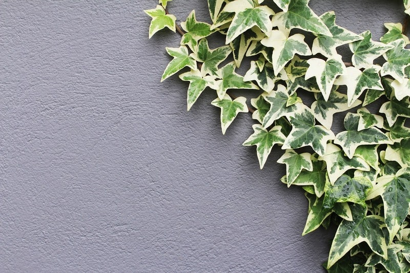 english ivy best air purifying plant