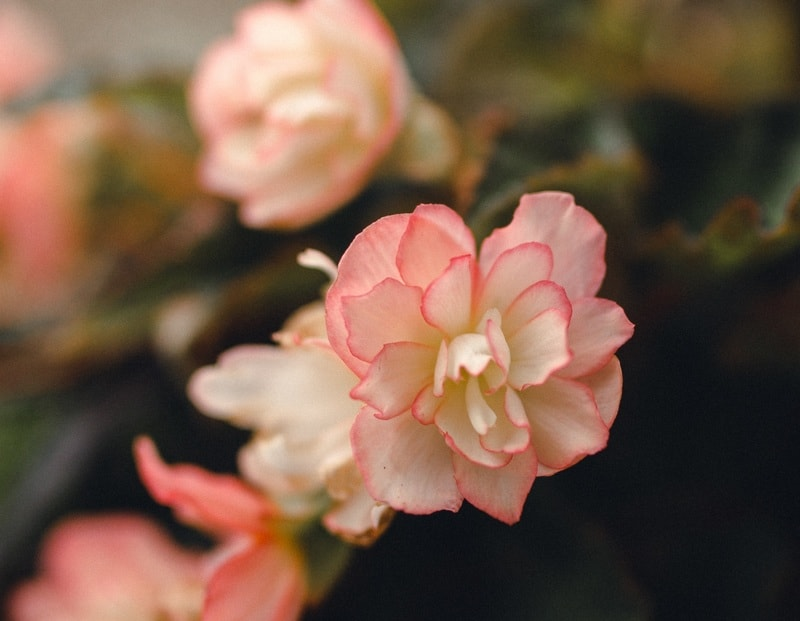 Begonia (Begonia Obliqua)