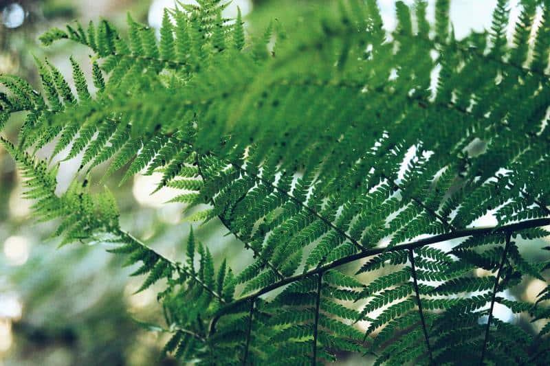 boston fern best air purifying plant