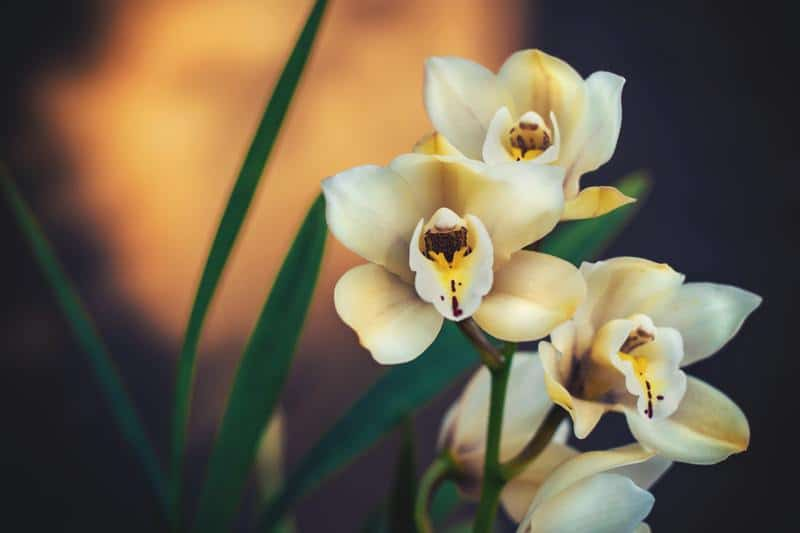 Orchid (Orchidaceae family)