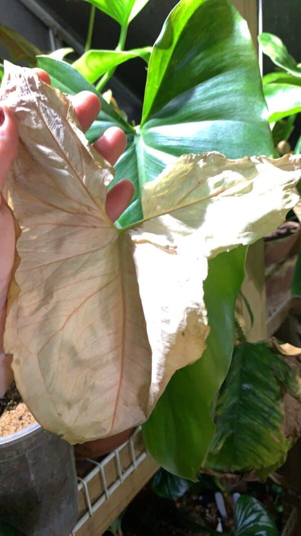 "Syngonium ""T-24"", Plantly"