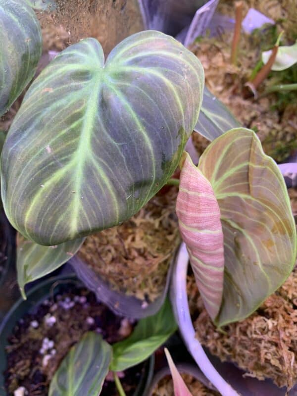 Philodendron El Choco Red, Plantly