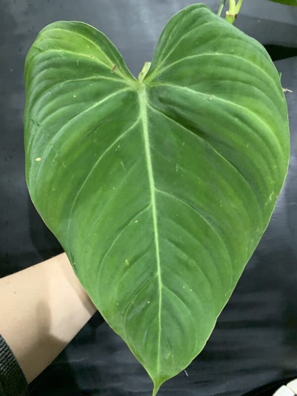 Philodendron 'Glorious', Plantly