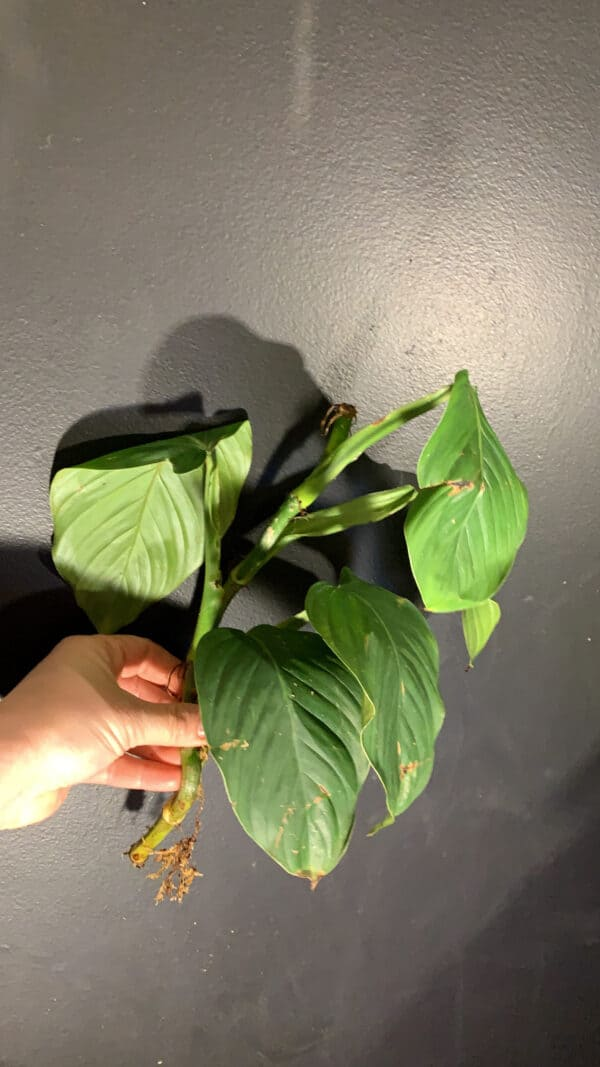 Philodendron smithii (wv32), Plantly