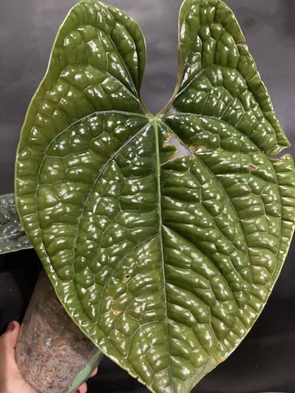 Anthurium luxurians, Plantly