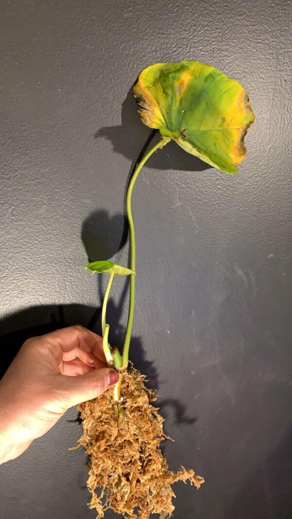 Philodendron Fibrosum