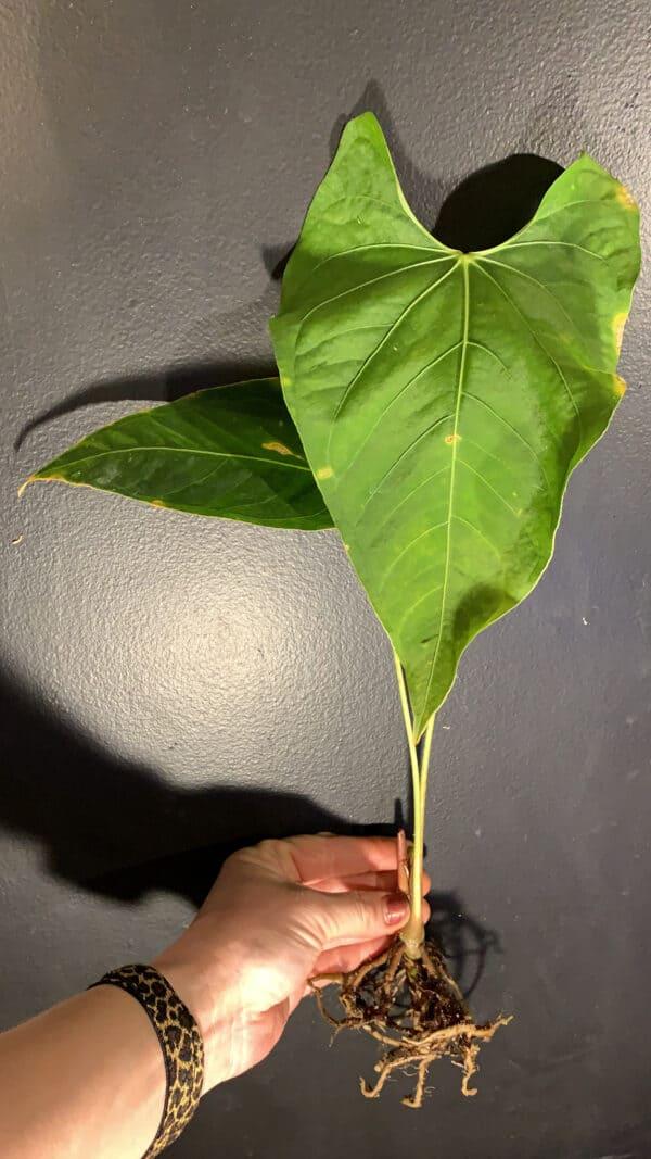 Anthurium Rotundistigmatum, Plantly