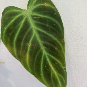 Philodendron Verrucosum Cobra