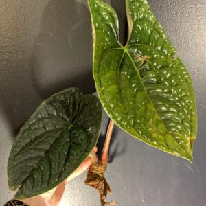 Anthurium luxurians | Quilted Heart Anthurium | Plantly