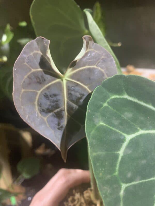 Anthurium Clarinervium, Plantly