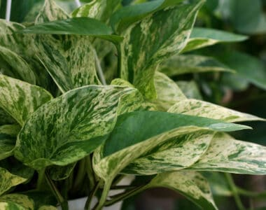 Marble Queen Pothos Care Guide