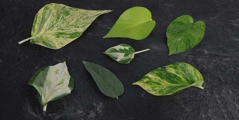 Pothos Plant type