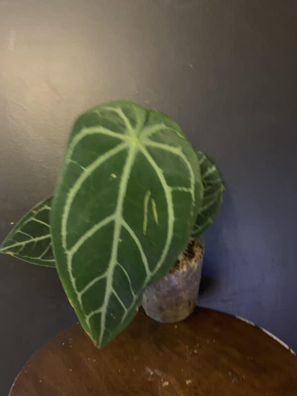 Anthurium magnificum, Plantly