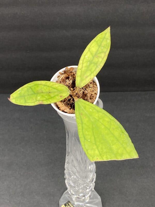 Hoya Jennifer (a), Plantly