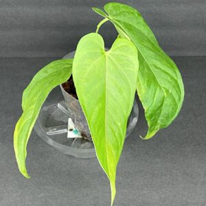 Anthurium Crystallinum Care Guide – All You Need to Know, Plantly
