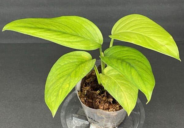 Monstera Lechleriana (b), Plantly