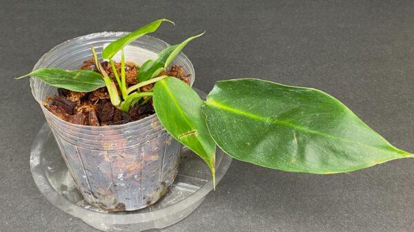 Philodendron Esmeraldense Narrow, Plantly
