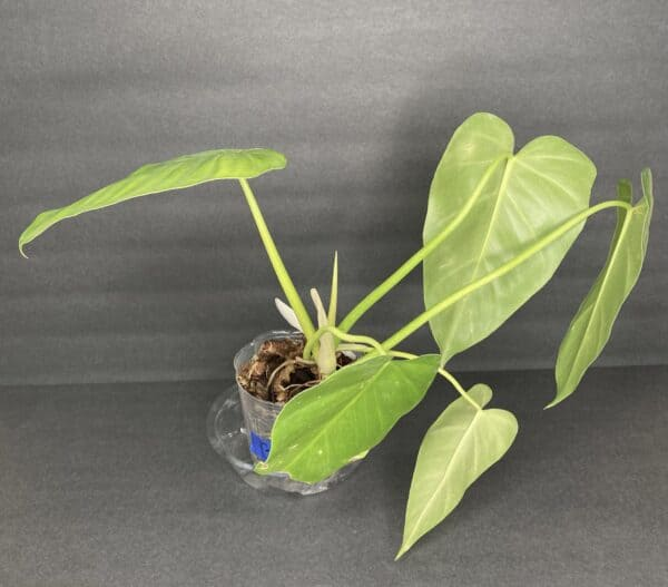Philodendron Giganteum, Plantly