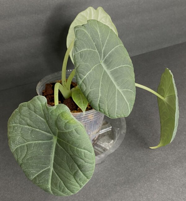 Alocasia Maharani (d), Plantly