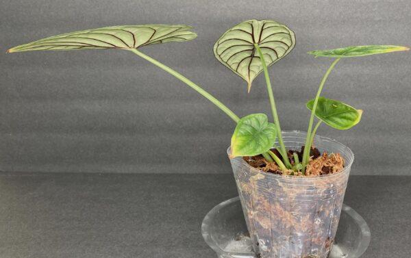 Alocasia Dragon Scale, Plantly