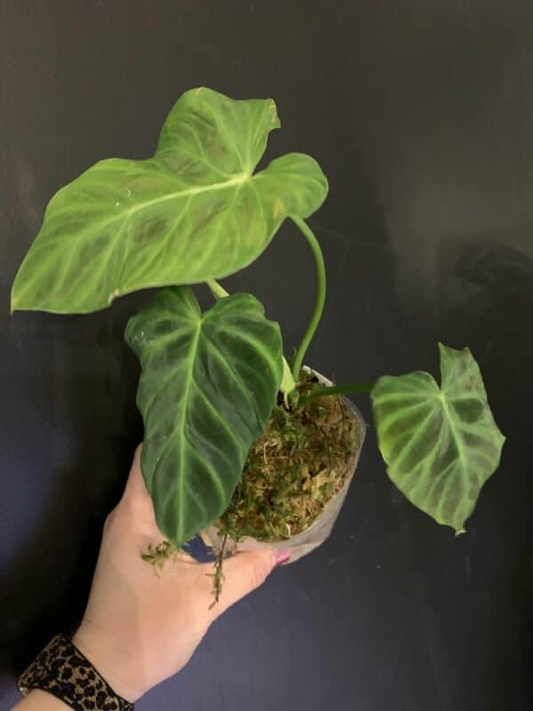 Philodendron Verrucosum Dark