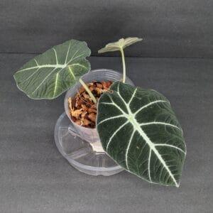 Alocasia Black Velvet Plant Care, Plantly